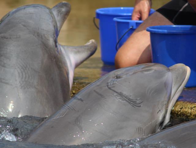Durche Bisse verletzte Delfine im Tiergarten Nürnberg (WDSF-Foto)