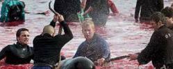 Boykotte wegen Färöer-Walmord - BREAKING NEWS